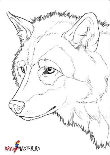 Как научиться рисовать Волка